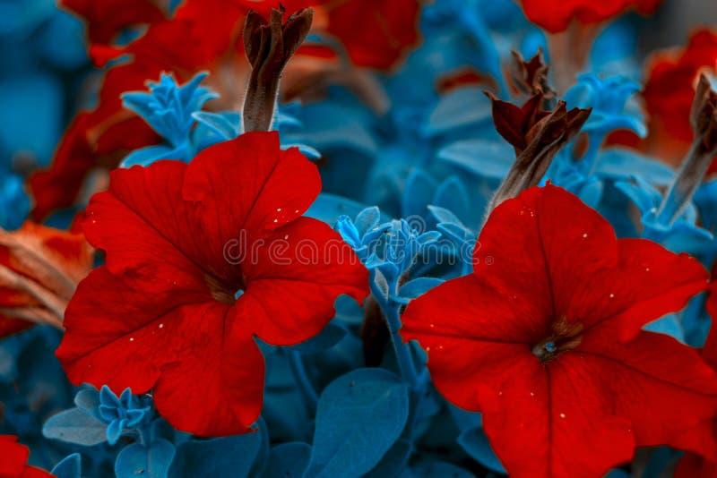 röda härliga blommor Röd petuniabuske Horisontalsommar blommar konstbakgrund Flowerbackground gardenflowers royaltyfri fotografi
