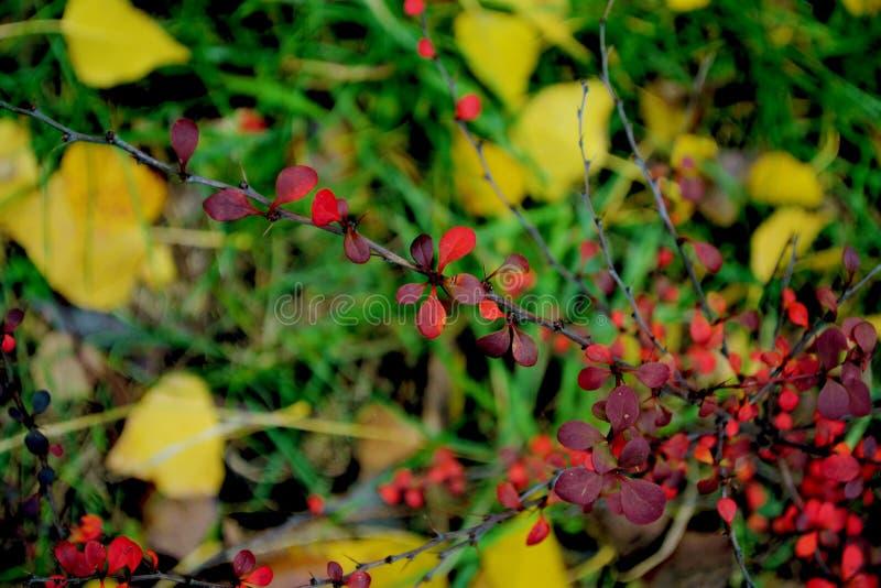 röda härliga leaves royaltyfri foto