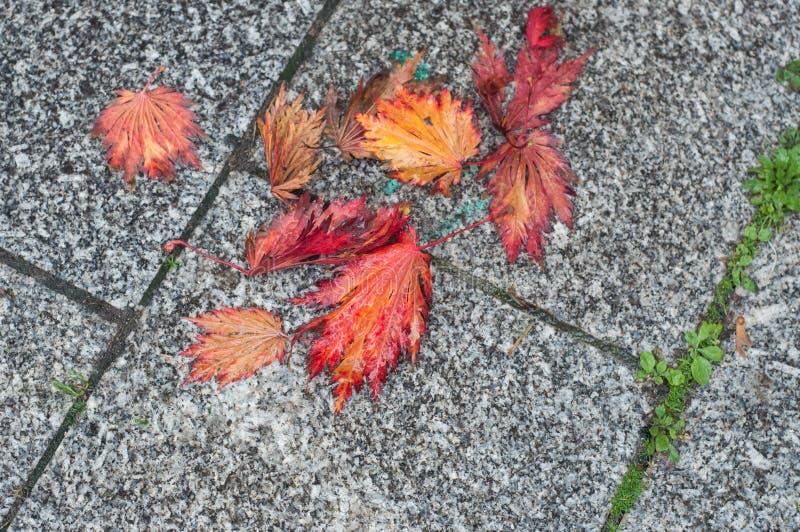 röda höstliga lönnlöv på kullerstengolv arkivfoto