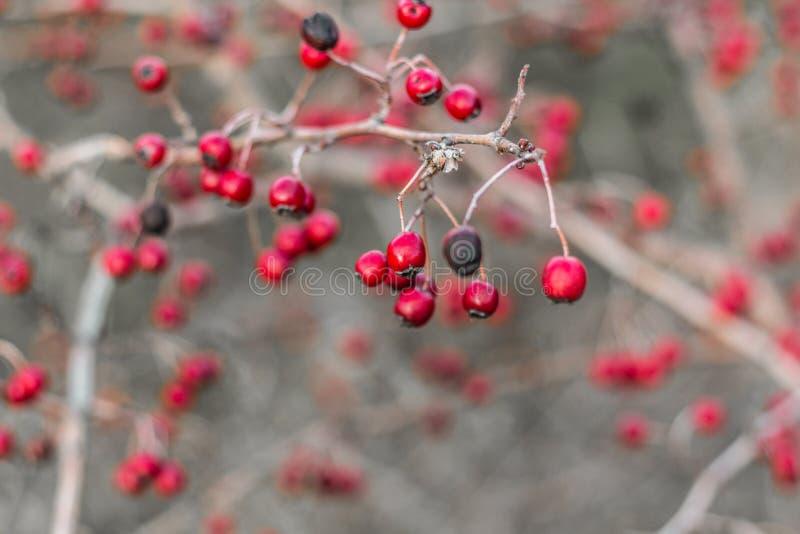 Röda hagtornbär på en kal filial utan sidor efter regn Hagtornträd i höst i November royaltyfria bilder