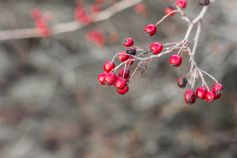 Röda hagtornbär på en kal filial utan sidor efter regn Hagtornträd i höst i November royaltyfri bild