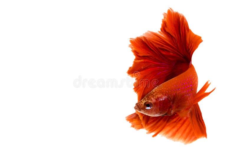 Röda HalfmoonBetta splendens eller siamese stridighetfisk royaltyfri bild