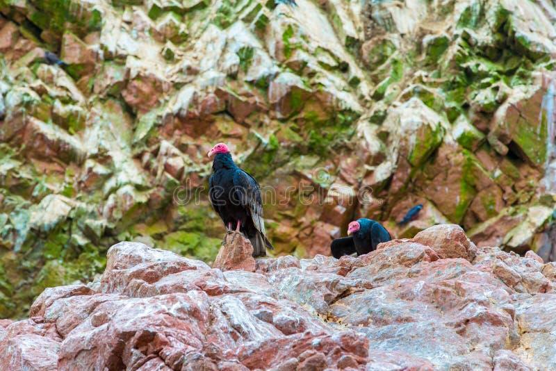 Röda halsfåglar för gam i Ballestas Islands.Peru.South Amerika. Nationalpark Paracas. royaltyfri fotografi