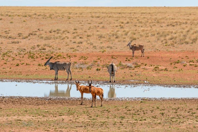 Röda Hartebeest och eland royaltyfria bilder