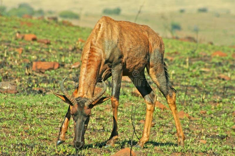 Röda Hartebeest som betar på nytt gräs efter brand arkivfoto