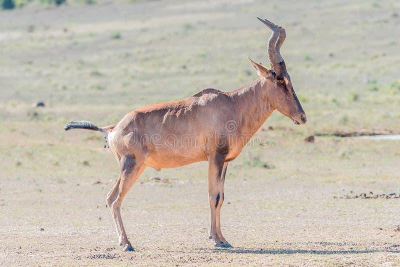 Röda Hartebeest som pooping royaltyfria foton
