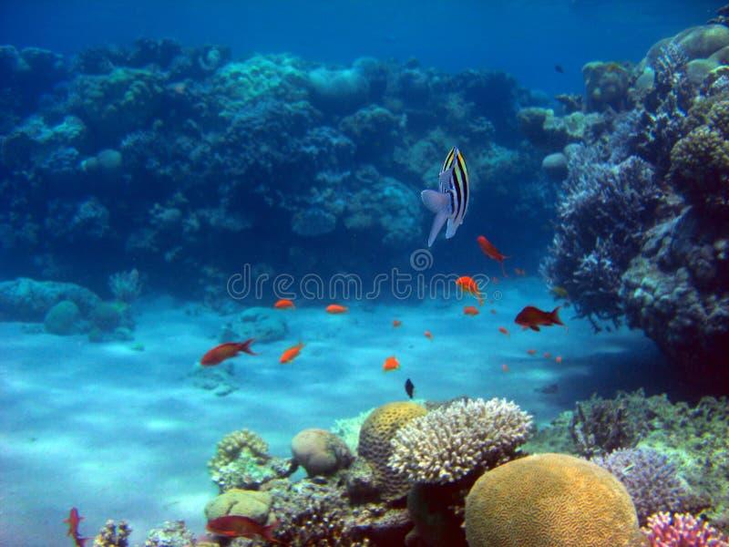 Röda havetrev arkivfoto