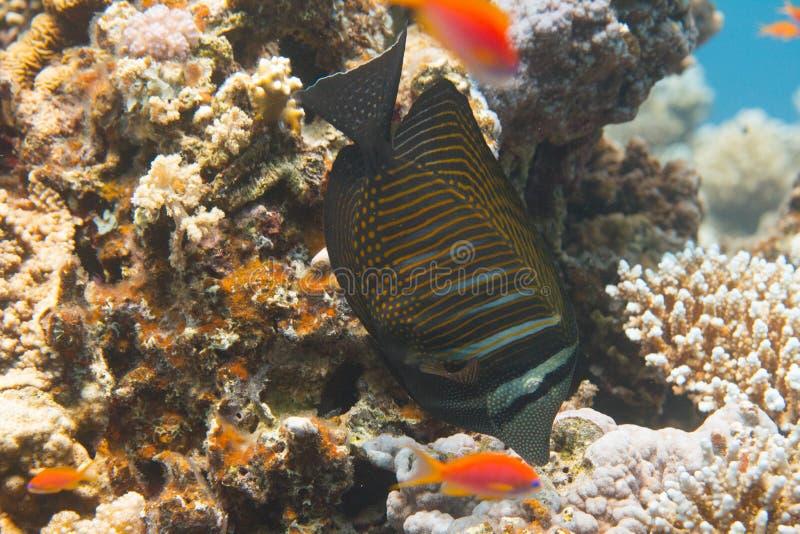 Röda havetSailfin skarp smak över korall arkivbilder