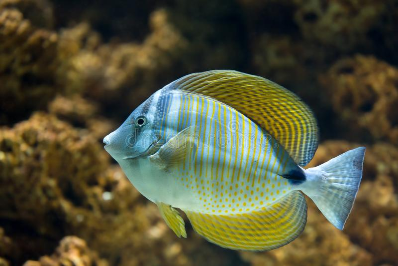Röda havetSailfin Tang Zebrasoma desjardinii arkivfoton