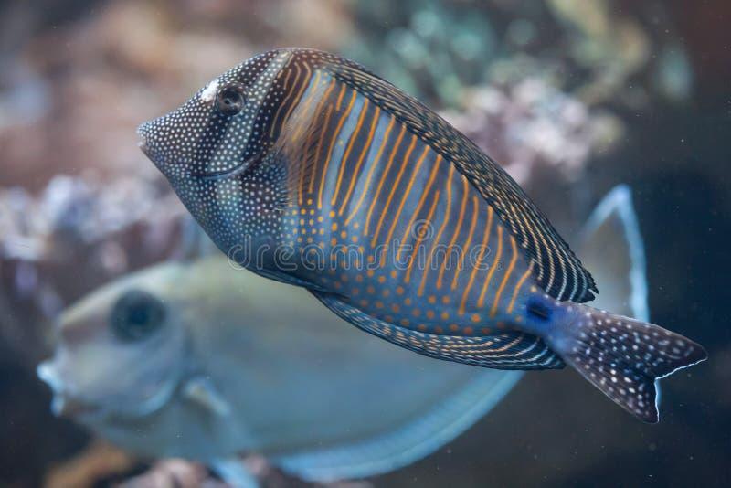 Röda havetsailfinskarp smak (den Zebrasoma desjardiniien) royaltyfria bilder