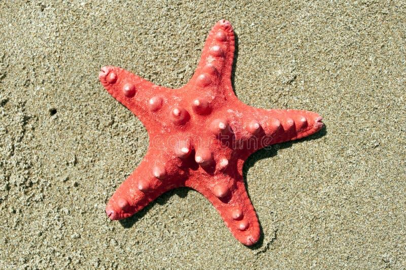 Röda havetstjärnaskal på sand royaltyfri bild
