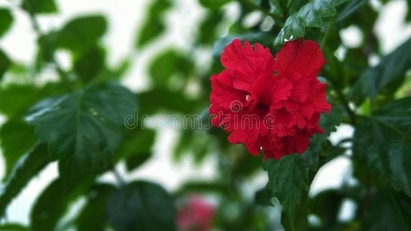 Röda hibiskusblommor blommar i ottasolskenet fotografering för bildbyråer