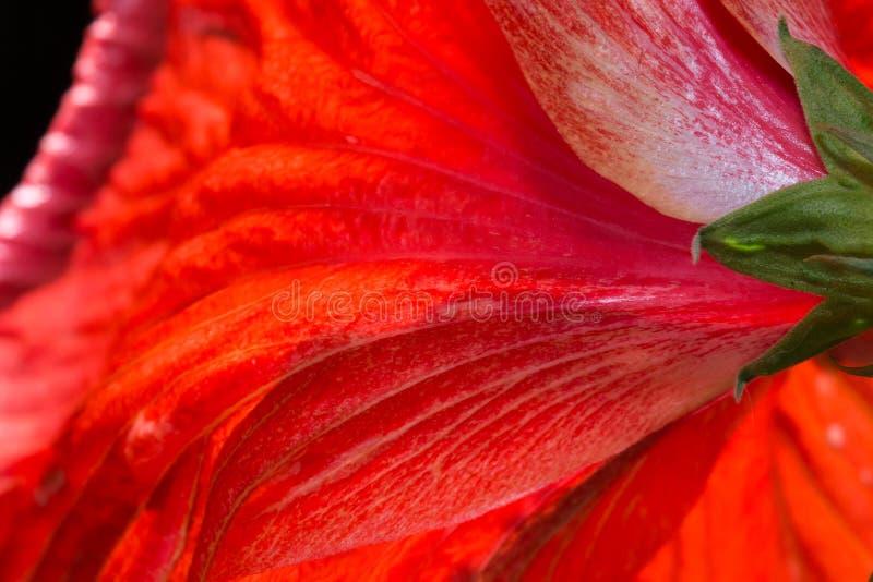 Röda hibiskusblommor för kronblad arkivfoto