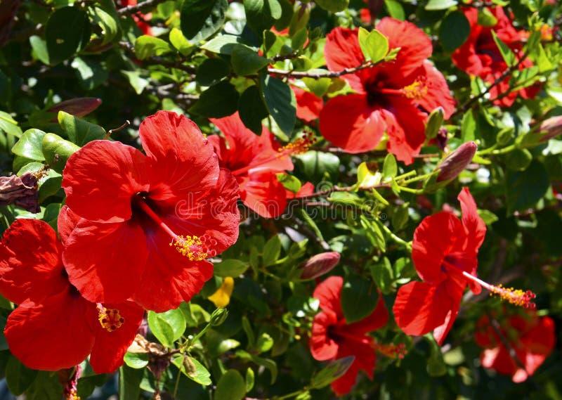 Röda hibiskusblommor Kina steg, den kinesiska hibiskusen, hawaiansk hibiskus i tropisk trädgård av Tenerife, kanariefågelöar, Spa fotografering för bildbyråer