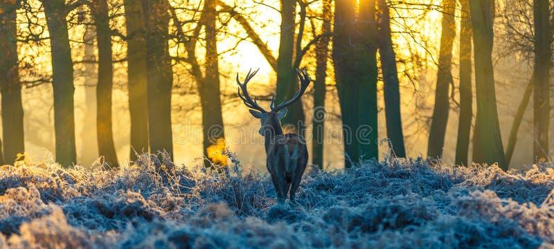 Röda hjortar fotografering för bildbyråer