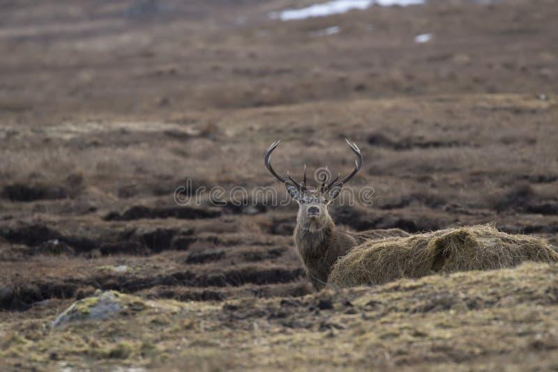 Röda hjortar, Cervuselaphus, fullvuxen hankronhjort och att söka efter föda som betar inom en dalgång i den Cairngorm nationalpar royaltyfria foton