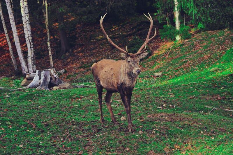 Röda hjortar i det löst royaltyfri fotografi