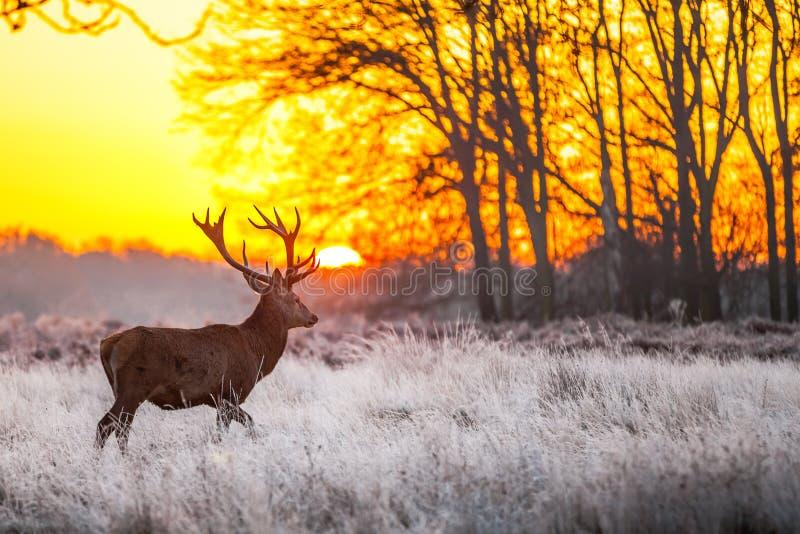 Röda hjortar i morgonsol fotografering för bildbyråer