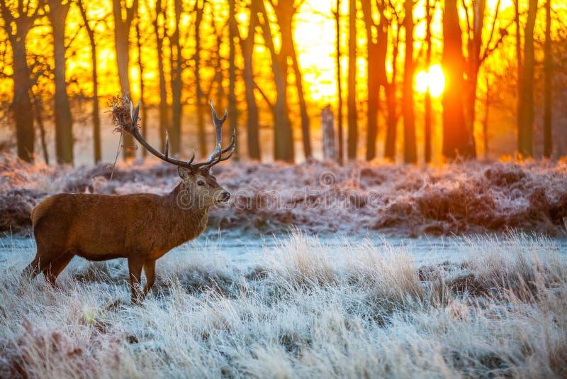 Röda hjortar i morgonsol arkivbild