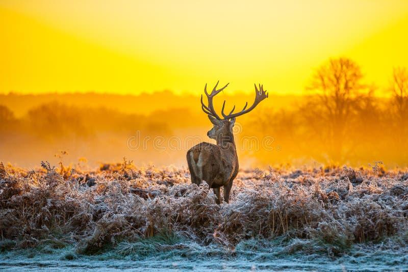 Röda hjortar i morgonsol royaltyfri fotografi