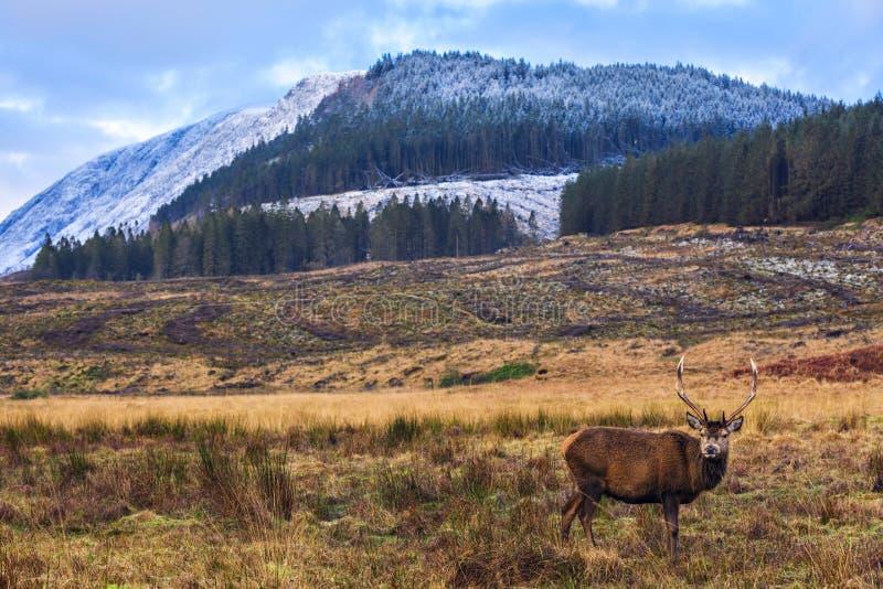 Röda hjortar i naturlig miljö royaltyfria bilder