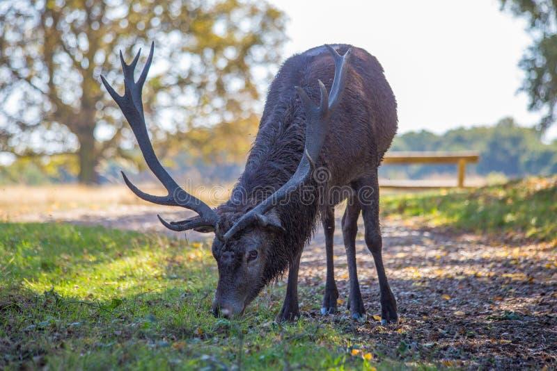 Röda hjortar med horn på kronhjort som betar för mat arkivbild