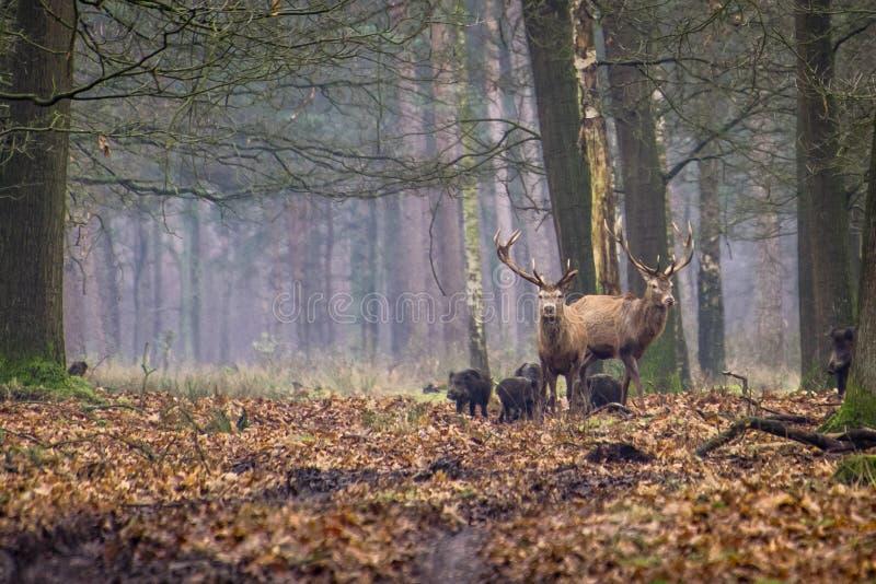 Röda hjortar och vildsvin arkivfoton