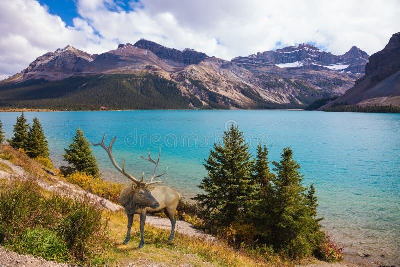 Röda hjortar på banken av den azura sjön arkivbilder