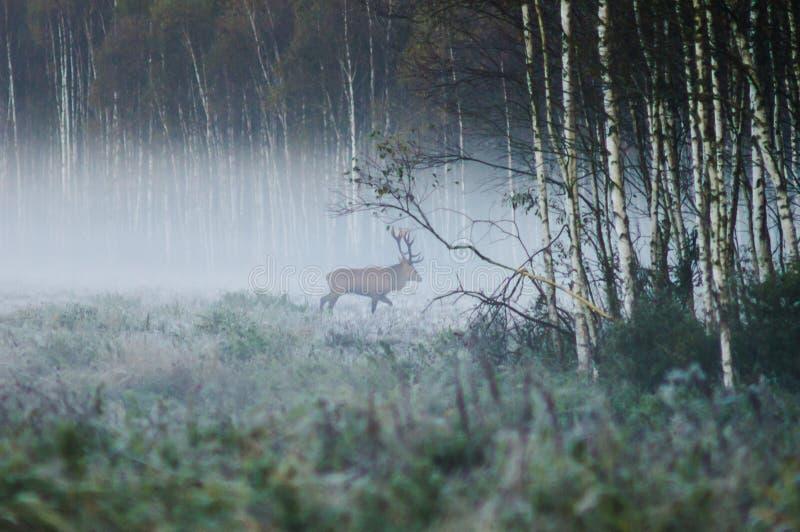 Röda hjortar på kanten av skogen, tidig dimmig morgon under t arkivfoto