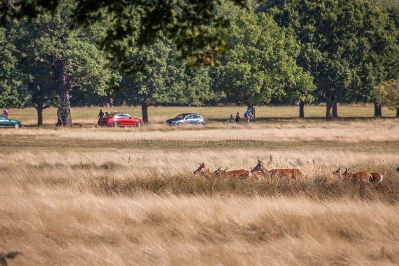 Röda hjortar som går till och med gräs royaltyfri foto