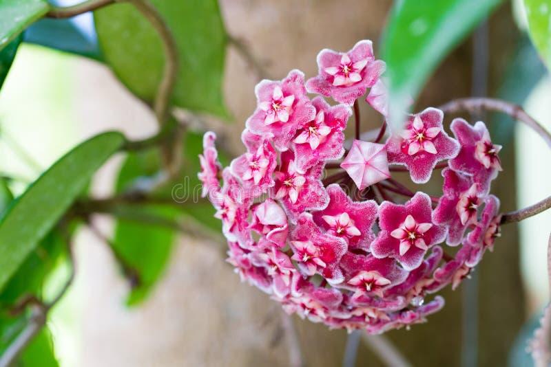 Röda Hoya blommor Hoya parasitica Roxb royaltyfri fotografi