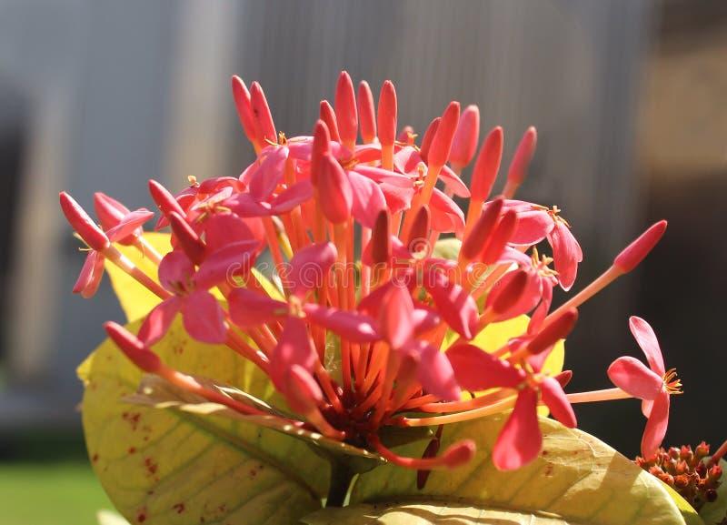 Röda ixorablommor och knoppar royaltyfria bilder