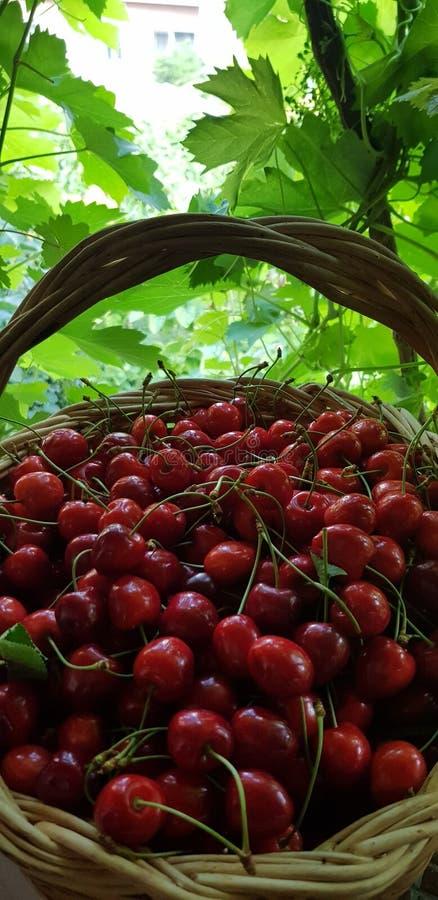 Röda körsbär i korgen arkivfoton