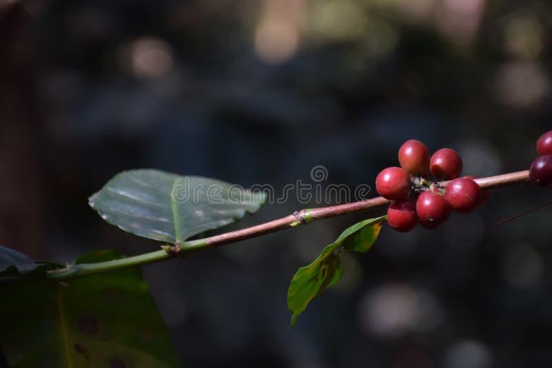 Röda kaffebönor med bladgräsplan royaltyfria bilder
