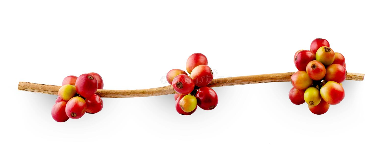 Röda kaffebönor på en filial av bär för träd för kaffe som mogna och omogna, isoleras på vit bakgrund arkivfoton