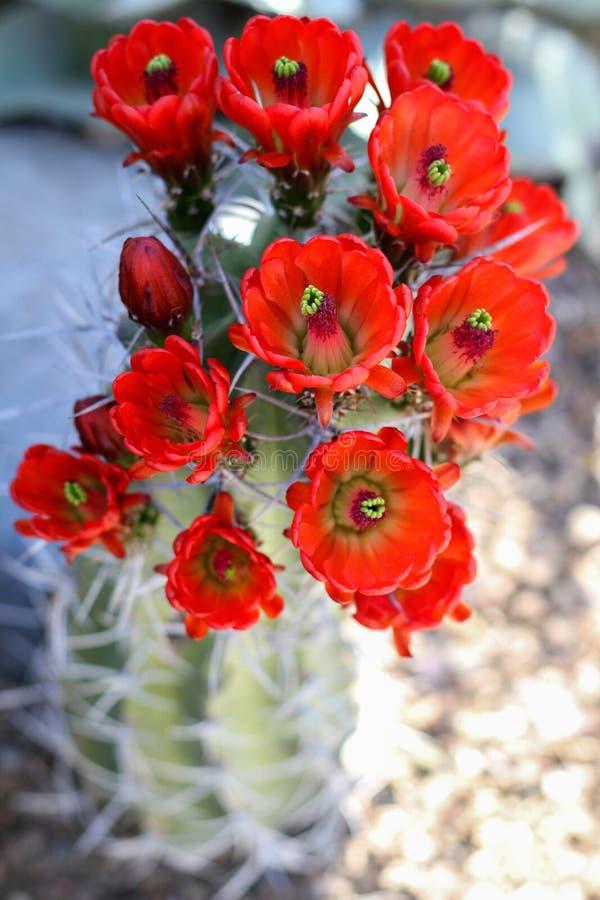 Röda kaktusblommor i blom arkivfoto