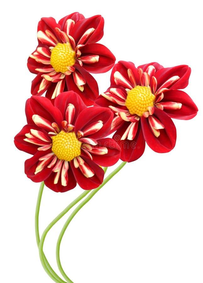 Röda kulöra Dahlia Flowers fotografering för bildbyråer