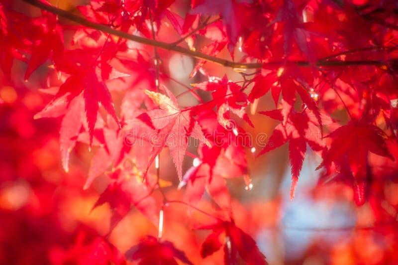 Röda lönnlöv i höst i neigbourhooden av Mountet Fuji, Japan arkivbild
