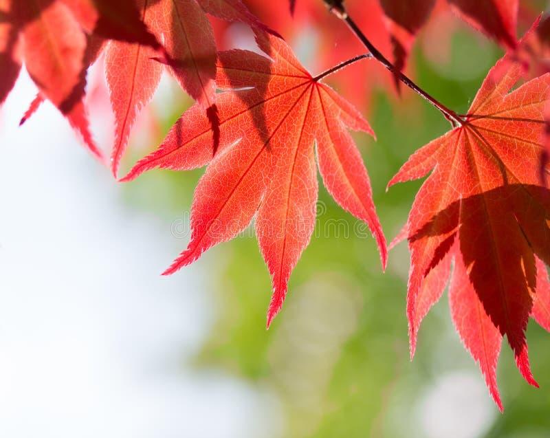 Röda lönnlöv i skogen royaltyfria bilder