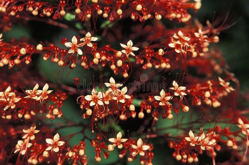 Röda lösa blommor i Trinidad regnskog arkivbilder