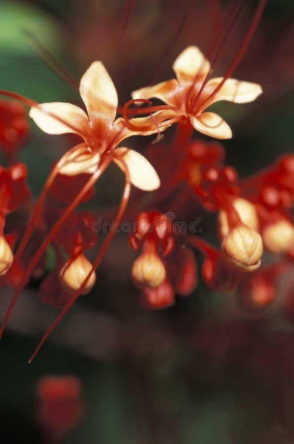 Röda lösa blommor, Trinidad royaltyfri bild