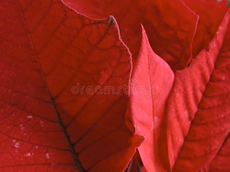 röda leafes arkivbild