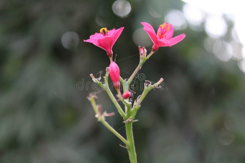 Röda lilla Lily Flower arkivfoto