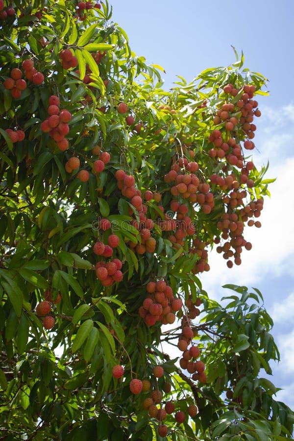 Röda litchiplommonfrukter på träd royaltyfria bilder