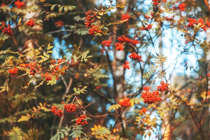Röda ljusa rönnbär på filialerna av ett träd, härlig au royaltyfria bilder