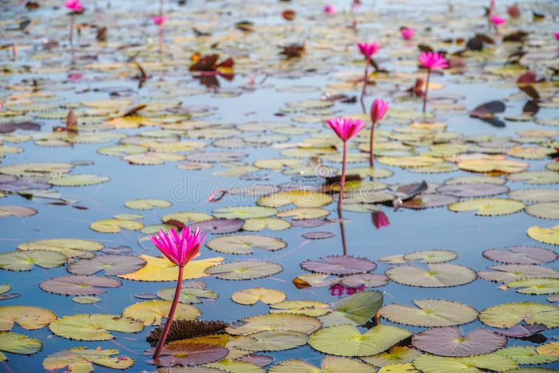 Röda Lotus Flowers på Thale Noi Waterfowl Reserve Lake, Thailand arkivbilder