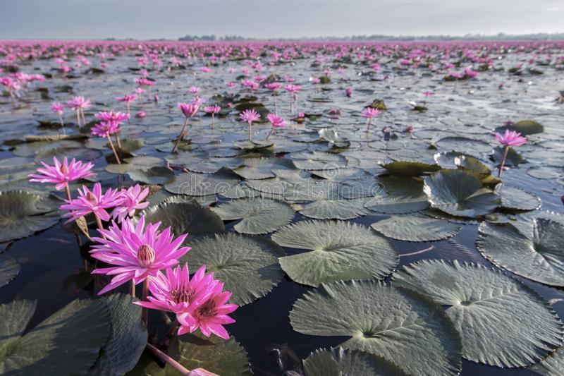 Röda Lotus Lake på Han Kumphawapi i Udonthani, Thailand arkivbild