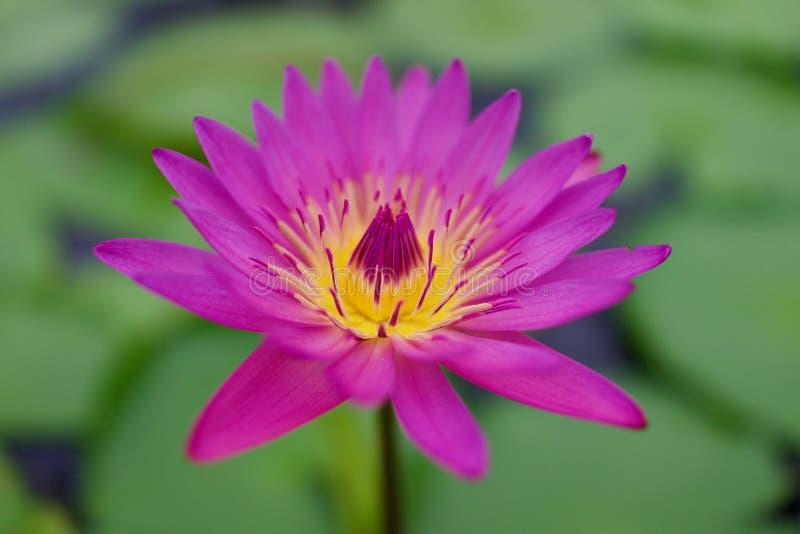 Röda Lotus Pond på Umi Jigoku, Beppu, Oita, Japan arkivfoton