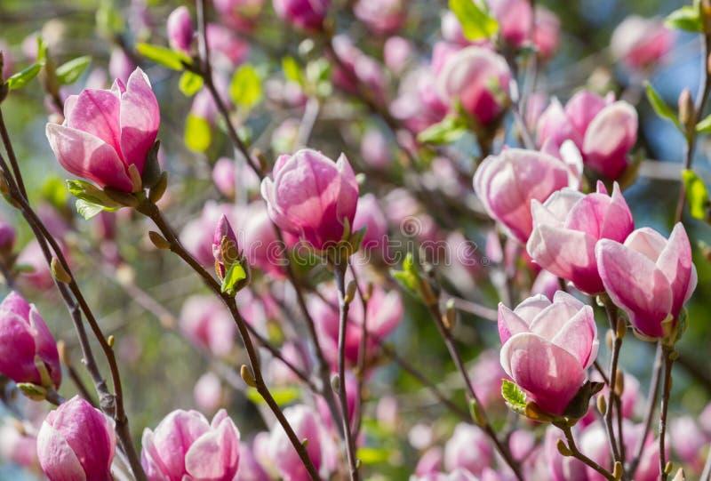 Röda magnoliablommor fotografering för bildbyråer