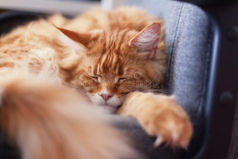 Röda Maine Coon Kitten Sleeping på stol royaltyfria foton
